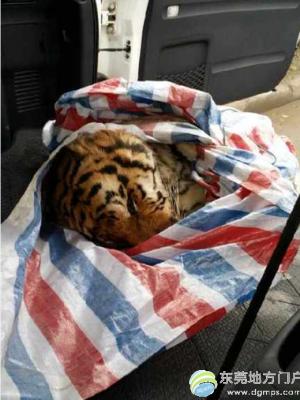 温州街头被查获老虎尸体确认为东北虎